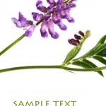 Beautiful purple flowers against white background — Stock Photo #11085000