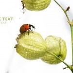 Lovely lady bug on flora against white background — Stock Photo