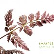 Young red leaves against white background — 图库照片