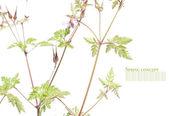 Flora de verão contra o fundo branco (profundidade de campo) — Fotografia Stock