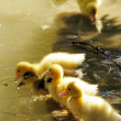 Scene duck chicks — Stock Photo #11442887