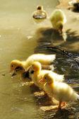 Scene duck chicks — Stock Photo