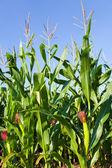 Field of Corn — Stock Photo