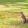 Squirrel in the park — 图库照片
