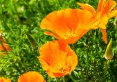 Closeup of orange poppies on green field — Stock Photo