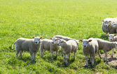 Troupeau de standing de moutons dans une attente de champ — Photo