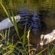 Swan with nestling — Stock Photo
