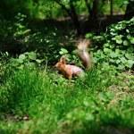 Portrait of the squirrel — Stock Photo