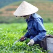 Woman picking tea leaves - Stock Photo