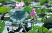 Pink water lily flower (lotus) — Stock Photo