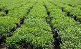 Tea plantation — Стоковое фото