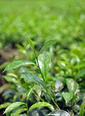 Green tea bud and fresh leaves — Stock Photo