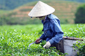 Woman picking tea leaves — Stock Photo
