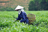 Woman picking tea leaves in a tea plantation Vietnam — Stock Photo