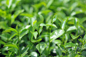 Green tea bud — Stock Photo