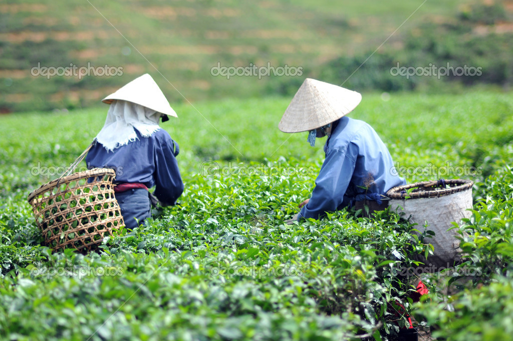 女人采摘茶叶种植园越南茶树叶 - 图库图片