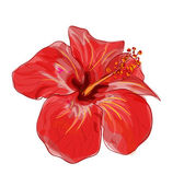 Red hibiscus flower. Vector image. — Stock Vector