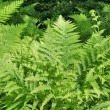 Fern background — Stock Photo