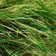 Stock Photo: Field grass