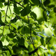 Background of linden leaves — Stock Photo