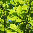 Background of young oak leaves — Stock Photo #10804492
