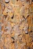 Background of sunlit pine bark — Stock Photo