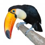 Постер, плакат: Curious toucan