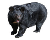 Orso nero asiatico — Foto Stock