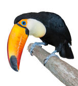 Curious toucan — Stock Photo