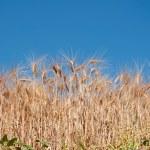 Bright ripe wheat — Stock Photo