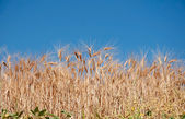 яркие спелой пшеницы — Стоковое фото