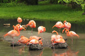 Der Flamingo — Stockfoto