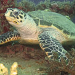 Seaturtle Resting on Shipwreck - Stock Photo