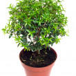 Small tree in a pot on a white background — Stock Photo #10752946