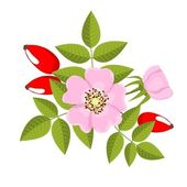 Dog rose — Stock Vector