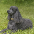 Black Standard Poodle - Stock Photo