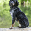 French Brittany Spaniel - Stock Photo