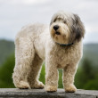 Polish Lowland Sheepdog — Stock Photo