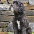 Portuguese Water Dog — Stock Photo