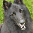 Belgian Sheepdog — Stockfoto