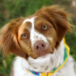 Brittany Spaniel - Stock Photo