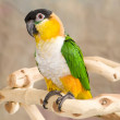 Black Headed Caique Parrot — Stock Photo