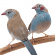 Cordon Bleu Finch — Stock Photo
