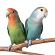 Two Lovebirds — Stock Photo
