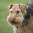 Royalty-Free Stock Photo: Airedale Terrier