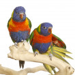 Two Blue Mountain Lorikeet — Stock Photo