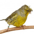 Crested Canary — Stock Photo