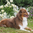 Australian Shepherd Dog - Stock Photo