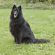 Belgian Sheepdog — Stock Photo