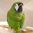 Severe Macaw Parrot — Stock Photo